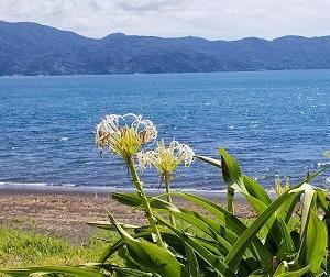 浜木綿(はまゆう)の花