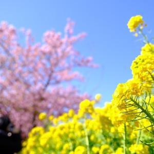 今年は決死の河津桜