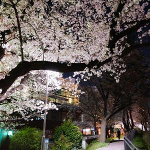 乗換駅の桜