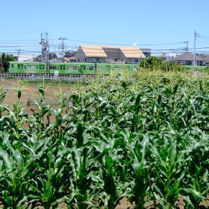 トウモロコシ畑越しに