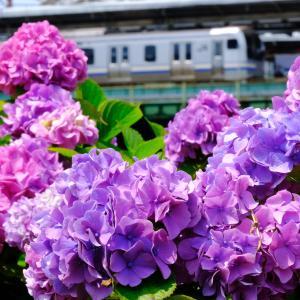 あじさいと横須賀線