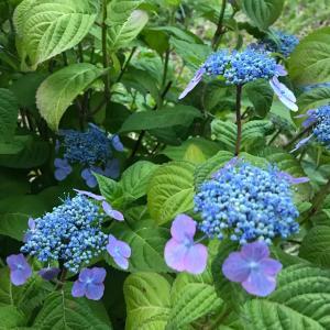 旬の花 〜 紫陽花