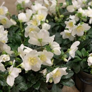 暖かい12月!お花が元気です~!入荷は続きます!