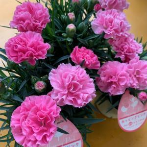 綺麗な花苗が種類豊富に入荷しています~!