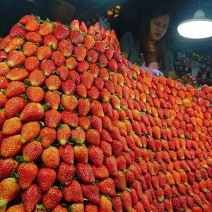 バギオで苺が最盛期