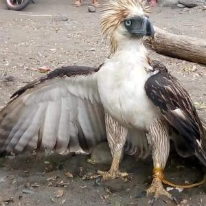 フィリピンの国鳥 フィリピン・イーグル