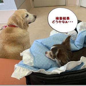 ポム血液検査の結果は・・・(*´˘`*)