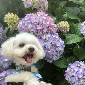 梅雨入、紫陽花