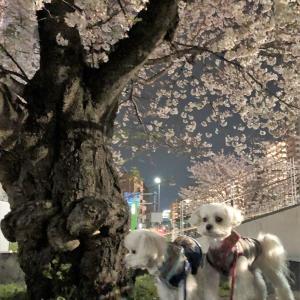 夜桜でしゅ