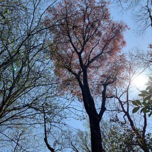 山の桜を見に行く