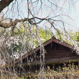 三椏の花咲く峡の家