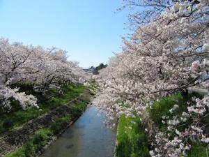 水瀬川の桜in瀬戸♪