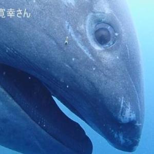 生きたメガマウス 東京湾の沖合に 6メートルの「幻のサメ」