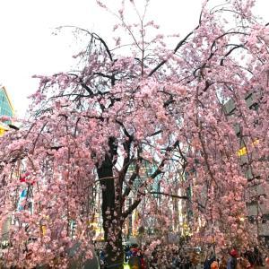 桜は門出に似合います