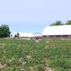 いちご狩り@Downey's Strawberry Farm