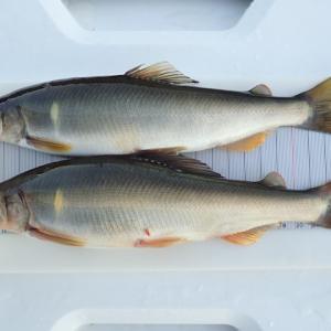 米代川最終釣行