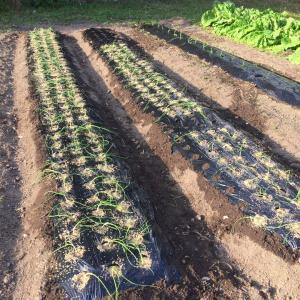 玉ねぎ植えちゃいました