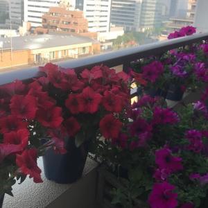 花いっぱいのバルコニーでコハクと仕事をする。