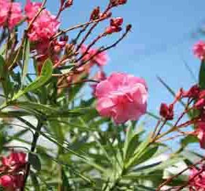 夾竹桃の花が咲く頃は