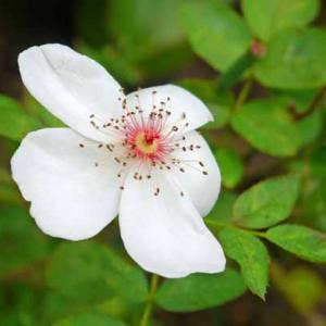 返り咲きのバラ、6種