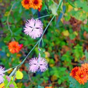 時節はずれのカワラナデシコが咲いている