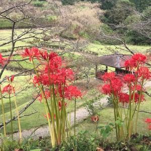 栃木県茂木町城山公園の彼岸花