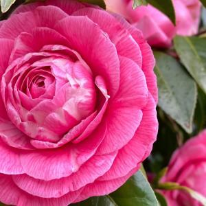 癒しのピンクの椿