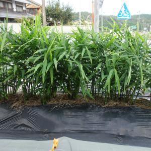 生姜を収穫しました、今年は豊作でしたヾ(^v^)k