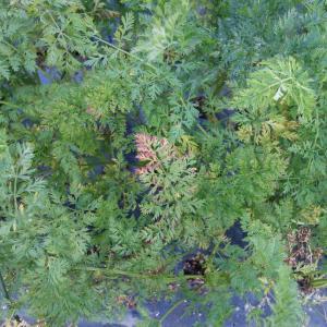 ニンジンさんやっぱり今年も枯れ葉が多くなってきました(^_^;