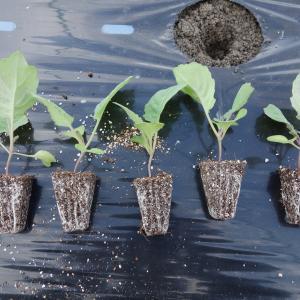 春キャベツの最後の植えつけ、イチゴがヾ(^v^)k