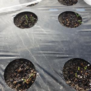 ほうれん草の発芽、中晩生の白菜の様子