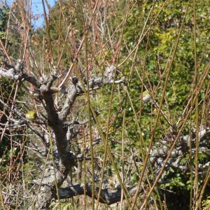 ブロッコリーと蕪の初収穫