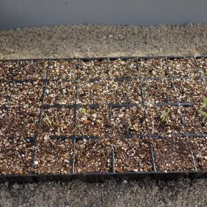 茄子台木の様子とナスの発芽が始まったヾ(^v^)k