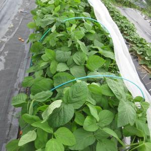 枝豆に花が、落花生に追肥と土寄せ