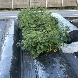 グラウンドペチカ試し堀、つる有りインゲンの初収穫