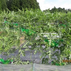 アーチ栽培のスイカが沢山生っています。