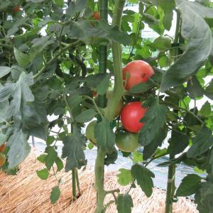 トマトの様子、今年のミニトマトは駄目でした