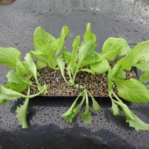 レタス2種類の植え付けをしました