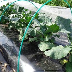 ミニブロッコリーの追肥を稲刈りは大パニック(^_^;アセアセ