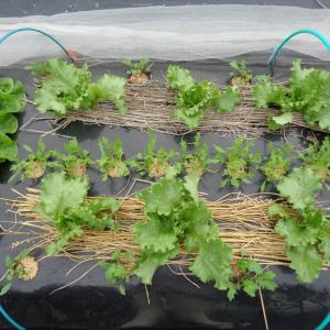 レタスの植えつけしました