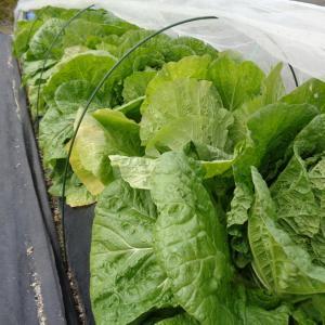 黄ごころ65収穫始まっています【11/10】【11/14】
