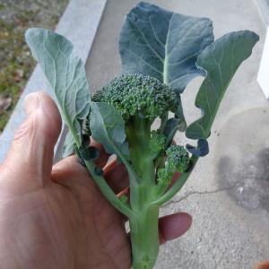 芽キャベツに追肥【11/18】ゆきのこの脇芽、畝づくりなど
