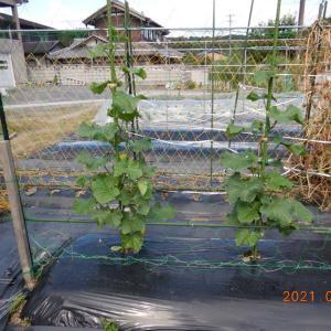 キュウリの成長と初収穫