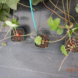 イチゴの苗取始めました