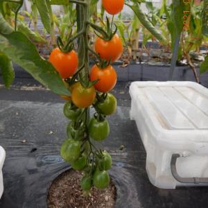 ミニトマトの収穫が始まっています