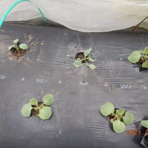 キャベツを植え付けました