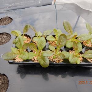 ミニレタス植えました