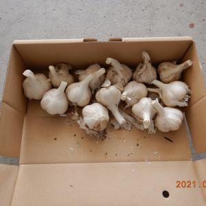 今年はニンニク栽培します