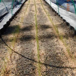玉ねぎ苗種蒔き後の様子