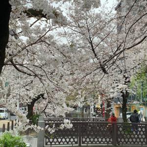 今日も京都の桜情報お伝えします❣️